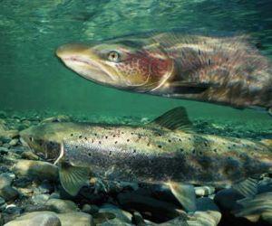 معلومات عن سمك السلمون وفوائده