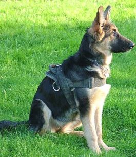 german shepherd facts with picures and video