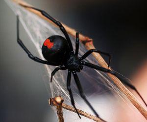معلومات عن عنكبوت الارملة السوداء بالصور والفيديو