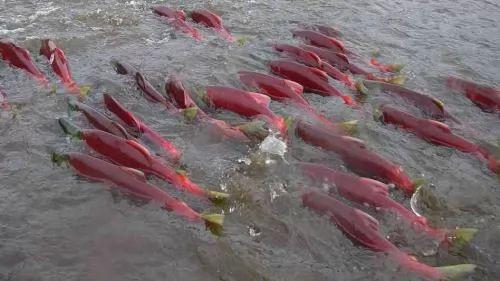 صور - معلومات عن سمك السلمون وفوائده