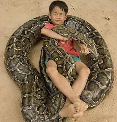 معلومات افعى البايثون البورمية بالصور