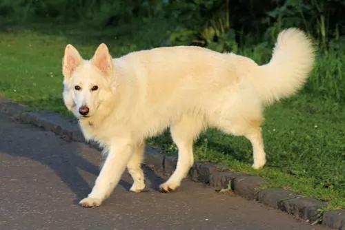 معلومات عن كلب الراعي الالماني بالصور والفيديو