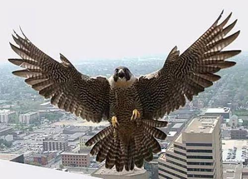معلومات عن الصقر احد الطيور الجارحة بالصور والفيديو