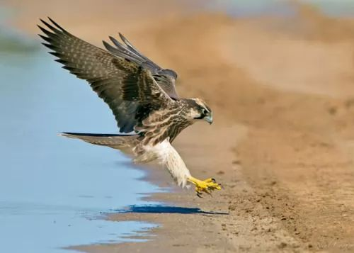 صور - معلومات عن الصقر احد الطيور الجارحة بالصور والفيديو