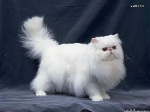 القط الشيرازي ,صور القط الشيرازي ...