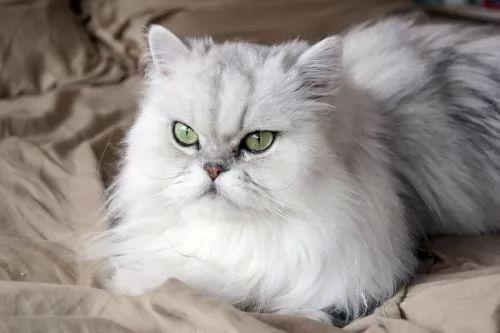 معلومات عن القط الشيرازي او الفارسي بالصور والفيديو