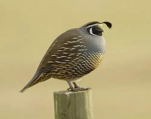 معلومات وتربية طائر السمان بالصور والفيديو 6647-2-or-1393577400