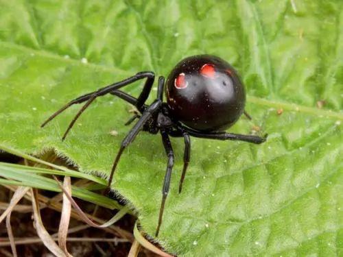 صور - معلومات عن عنكبوت الارملة السوداء بالصور والفيديو