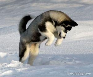 معلومات عن كلاب الهاسكي بالصور والفيديو