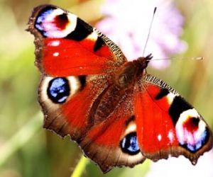 معلومات عن الفراشة بالصور والفيديو