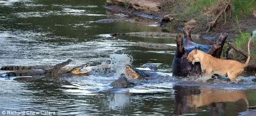 صراع شرس بين لبوة ومجموعة من التماسيح على جثة فرس النهر