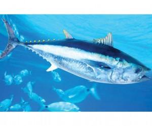 معلومات عن سمك التونة بالصور والفيديو
