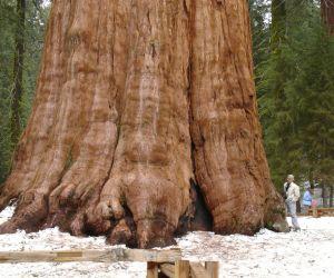 تعرف على اكبر شجرة في العالم بالصور والفيديو