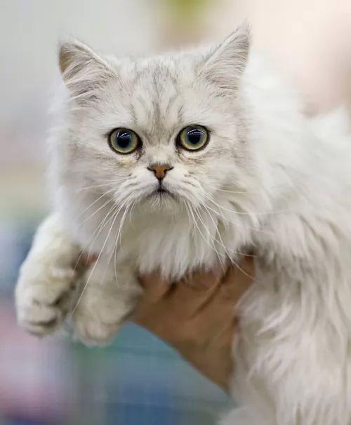 اشهر انواع القطط بالصور