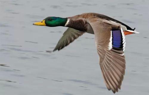 معلومات عن البط البري بالصور 6756-3-or-1397309898.jpg