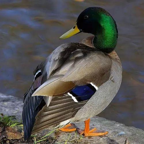 معلومات عن البط البري بالصور 6756-5-or-1397309900.jpg