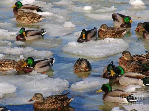 معلومات عن البط البري بالصور 6756-7-or-1397309902.jpg