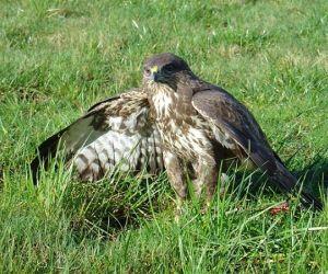 معلومات عن طائر الحدأة بالصور والفيديو