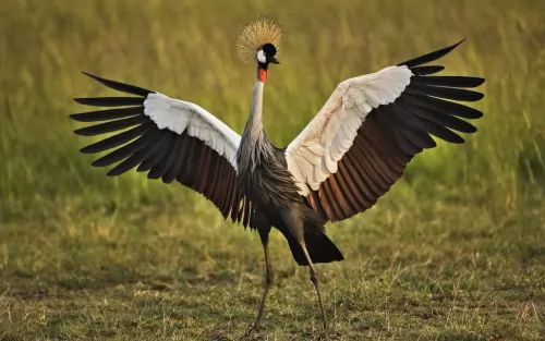 تعـــــرفه الكـــركى Crowned Crane 6786-1-or-1399034581