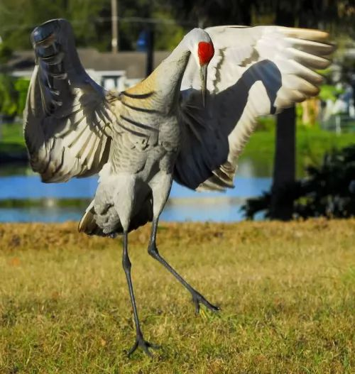 تعـــــرفه الكـــركى Crowned Crane 6786-5-or-1399034585