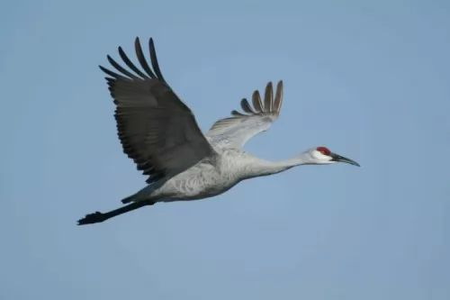 تعـــــرفه الكـــركى Crowned Crane 6786-6-or-1399034586