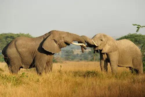 صور - هل تعلم ان الفيل يطلق تحذيرات صوتية عند هجوم النحل