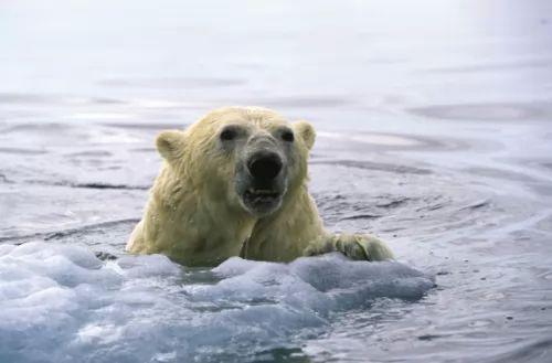 معلومات مثيرة عن الدب القطبي بالصور