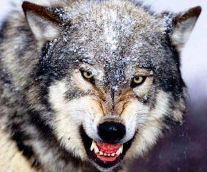 اخطر حيوانات مفترسة في العالم بالاسماء والصور