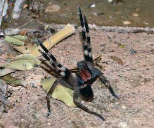 اخطر انواع العناكب السامة في العالم بالصور