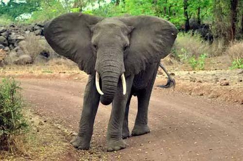 صور - ما هو الفرق بين الفيل الافريقي والفيل الهندي