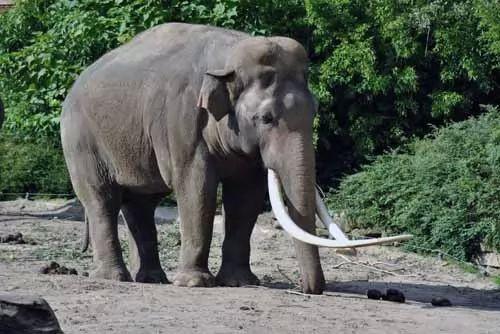 نتيجة بحث الصور عن الفيل الافريقي،