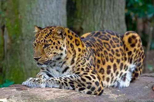 تعرف على انواع النمور بالصور