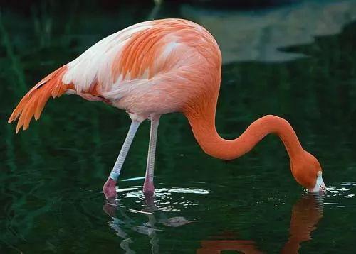 طائر الفلامنجو الوردي اجمل الطيور