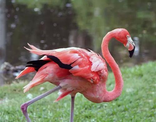 طائر الفلامنجو الوردي احد اجمل الطيور في العالم