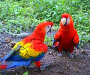 interesting facts about macaw parrot