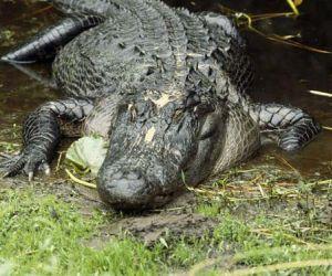 do you know where do alligators live ?