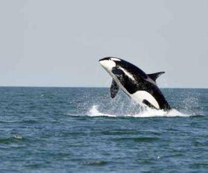 معلومات عن الحوت القاتل بالصور