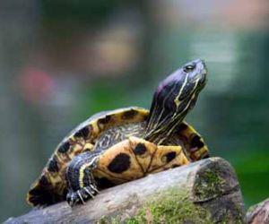 ما هي الحيوانات التي تفترس السلاحف ؟