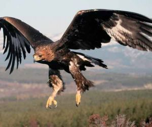 Interesting facts about golden eagle