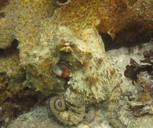 how can octopus camouflage