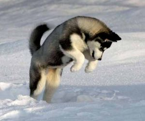 interesting facts about siberian husky breed