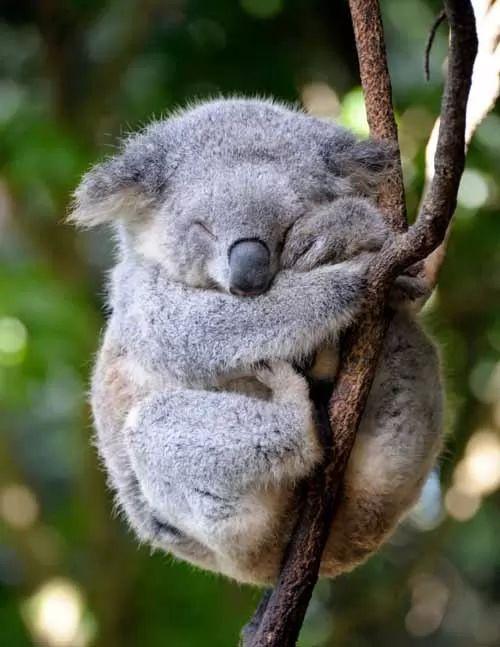 معلومات عن حيوان الكوالا بالصور