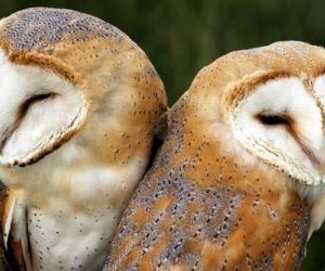 Interesting Facts About Barn Owls