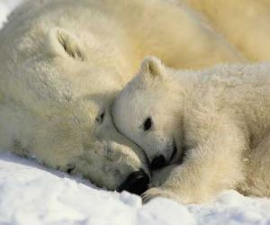 Interesting Facts about The Polar Bears