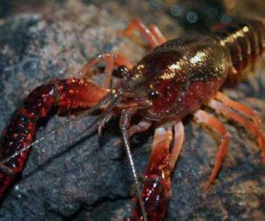 Interesting Facts About The Crayfish