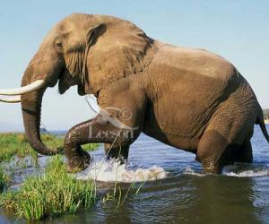interesting Facts about African Elephant