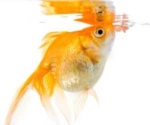 What do Goldfish Eat And How Much
