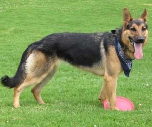 خصائص كلاب جيرمن شيبرد او الراعي الالماني بالصور