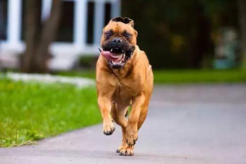 افضل كلاب الحراسة في العالم بالصور