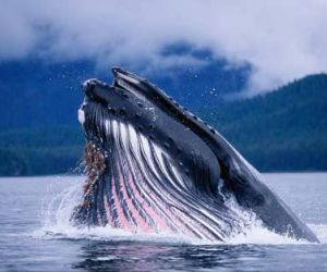 interesting facts about Blue Whale